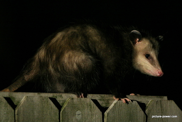 Weird photos of animals | Opossum on the fence.