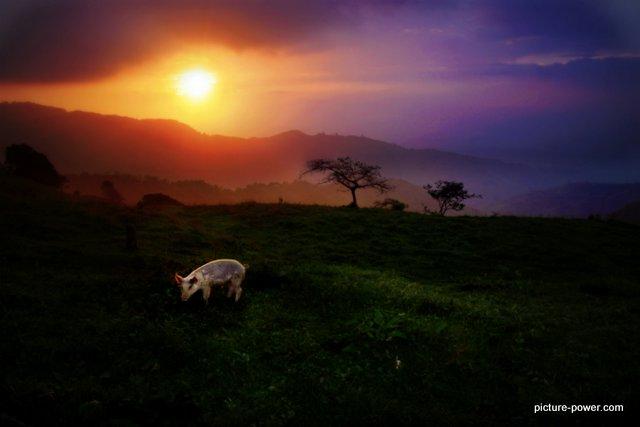Sunset Pig