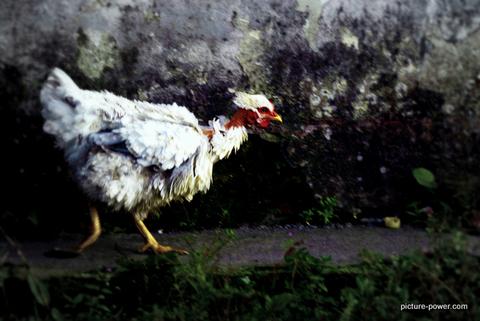 Weird photos of animals   Red Neck Chicken
